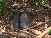 L'Australia, hyracoidea di entroterra nella tana fotografia stock