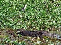 L'Australia, parco nazionale di Kakadu, fiume dell'alligatore Fotografia Stock Libera da Diritti