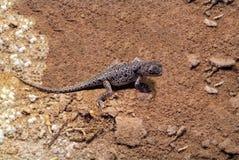 L'Australie, zoologie, lézard minuscule images libres de droits