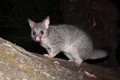 L'Australien Bush a coupé la queue l'opossum grimpant à un arbre Photos stock