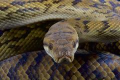L'Australien frottent le python/kinghorni de Morelia Photos stock