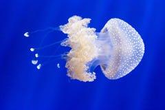 L'Australien a repéré des méduses, punctata de phyllorhiza, nageant photo stock