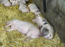 L'Austria, agricoltura animale Immagine Stock Libera da Diritti