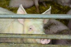L'Austria, agricoltura animale Fotografia Stock Libera da Diritti