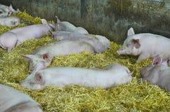 L'Austria, agricoltura animale Immagini Stock Libere da Diritti