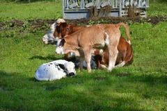 L'Austria, allevamento di bestiame Fotografie Stock
