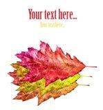 L'automne a coloré des feuilles Image libre de droits