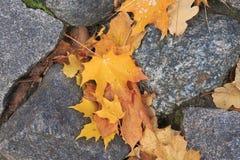 L'automne a coloré des feuilles d'érable sur des pierres Image libre de droits