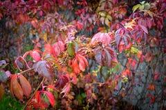L'automne a coloré des feuilles des raisins Images libres de droits