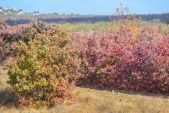 l'automne a coloré des feuilles sur les buissons Images libres de droits