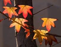 L'automne a coloré des lames Images libres de droits