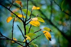 L'automne colore la branche de feuille Image libre de droits