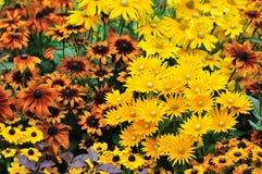 l'automne de couleur fleurit le rudbeckia Photographie stock libre de droits