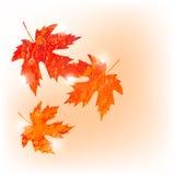 L'automne de vecteur a coloré des feuilles d'érable sur le fond blanc dans le style grunge Image libre de droits