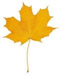 L'automne laisse l'érable Photographie stock
