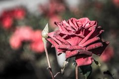 L'automne n'est pas le moment pour des roses photo libre de droits