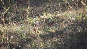 L'automne a séché le fond ensoleillé d'herbes banque de vidéos