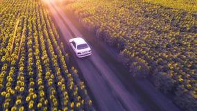 L'automobile guida su una strada non asfaltata fra i girasoli di fioritura stock footage