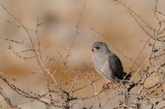 L'autour pâle de chant se reposent dans un arbre, nationalpark d'etoaha, Namibie images stock