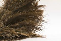 L'autruche fait varier le pas du plan rapproché (de Struthio) au-dessus du blanc Image libre de droits