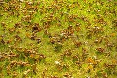 L'autunno asciutto copre di foglie sul fondo dell'erba verde, profondità bassa di fie immagine stock
