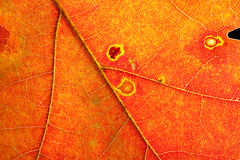 L'autunno colora il particolare del foglio Immagini Stock