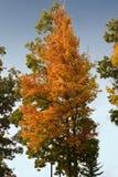 l'autunno colora l'albero Fotografia Stock