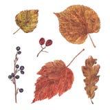 L'autunno dell'acquerello, cade parte a secco di bacca e della foglia Fotografia Stock Libera da Diritti