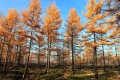 L'autunno dorato Fotografie Stock