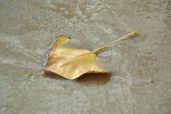 L'autunno, foglia di autunno, autunno è venuto, cadute del fogliame, foglia gialla da un albero fotografia stock libera da diritti