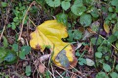 L'autunno, foglia di autunno, autunno è venuto, cadute del fogliame, foglia gialla da un albero immagine stock libera da diritti