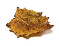 L'autunno ha asciugato la foglia di populus tremula della tremula di tremito fotografia stock libera da diritti