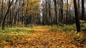 L'autunno nel sentiero forestale della foresta A coperto di giallo di autunno va video d archivio