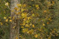 L'autunno riveste giallo - vista frontale Fotografia Stock