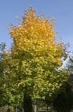 L'autunno sta venendo. L'albero di acero sta ottenendo giallo Immagini Stock Libere da Diritti