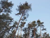 L'auvent forrest de pin contre le ciel bleu en hiver image stock