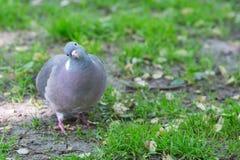L'avant de Grey Pigeon Looking à l'appareil-photo Images libres de droits
