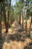 L'avenue d'eucalyptus Images stock