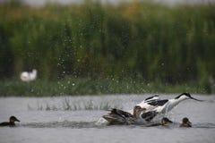L'avocetta adulta sta attaccando le piccole anatre per difendere il suo proprio jung fotografia stock libera da diritti
