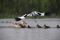 L'avocetta adulta sta attaccando le piccole anatre per difendere il suo proprio jung immagini stock libere da diritti