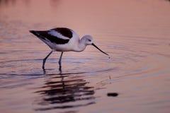 L'avocette américaine alimentant dans le coucher du soleil a reflété les eaux image libre de droits