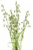 L'avoine (avoine) plante sur le blanc photos libres de droits