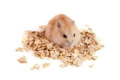 L'avoine s'écaille avec un hamster d'isolement sur le fond blanc Photographie stock libre de droits
