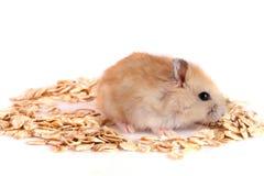 L'avoine s'écaille avec un hamster d'isolement sur le fond blanc Photos stock