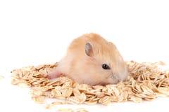 L'avoine s'écaille avec un hamster d'isolement sur le fond blanc Image libre de droits