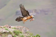 L'avvoltoio barbuto adulto decolla dalla montagna dopo l'individuazione dell'alimento Fotografie Stock