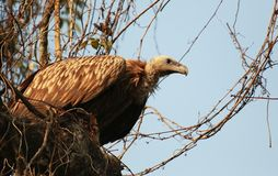 L'avvoltoio con effetto a lunga scadenza, Gyps i tenuirostris, Kaziranga, il parco nazionale, l'Assam, India fotografia stock