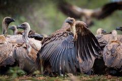 L'avvoltoio di appoggio bianco Gyps Africanus Immagine Stock Libera da Diritti