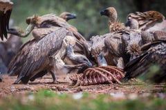 L'avvoltoio di appoggio bianco Gyps Africanus III Fotografia Stock