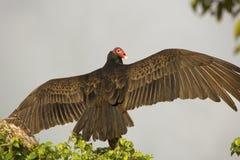 L'avvoltoio di Turchia si è appollaiato in un albero nei terreni paludosi di Florida Immagine Stock